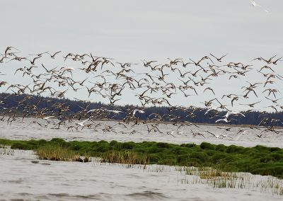 Migratory Shorebirds Conservation