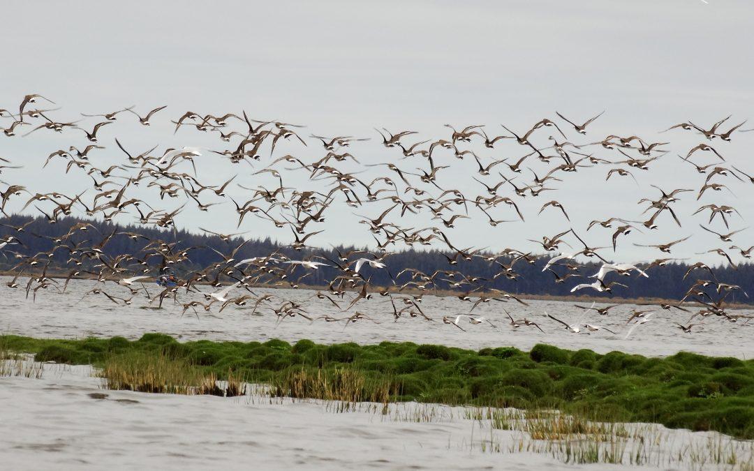 Decretada la creación del Santuario de la Naturaleza Humedales del río Maullín