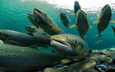 Pronunciamiento de la Fundación Conservación Marina ante el escape de salmones en el lago Llanquihue, de la empresa Salmones Camanchaca en la comuna de Frutillar, Región de los Lagos.